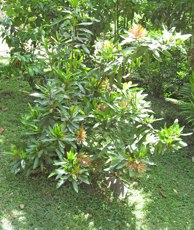Ixora hookeri   - Habit