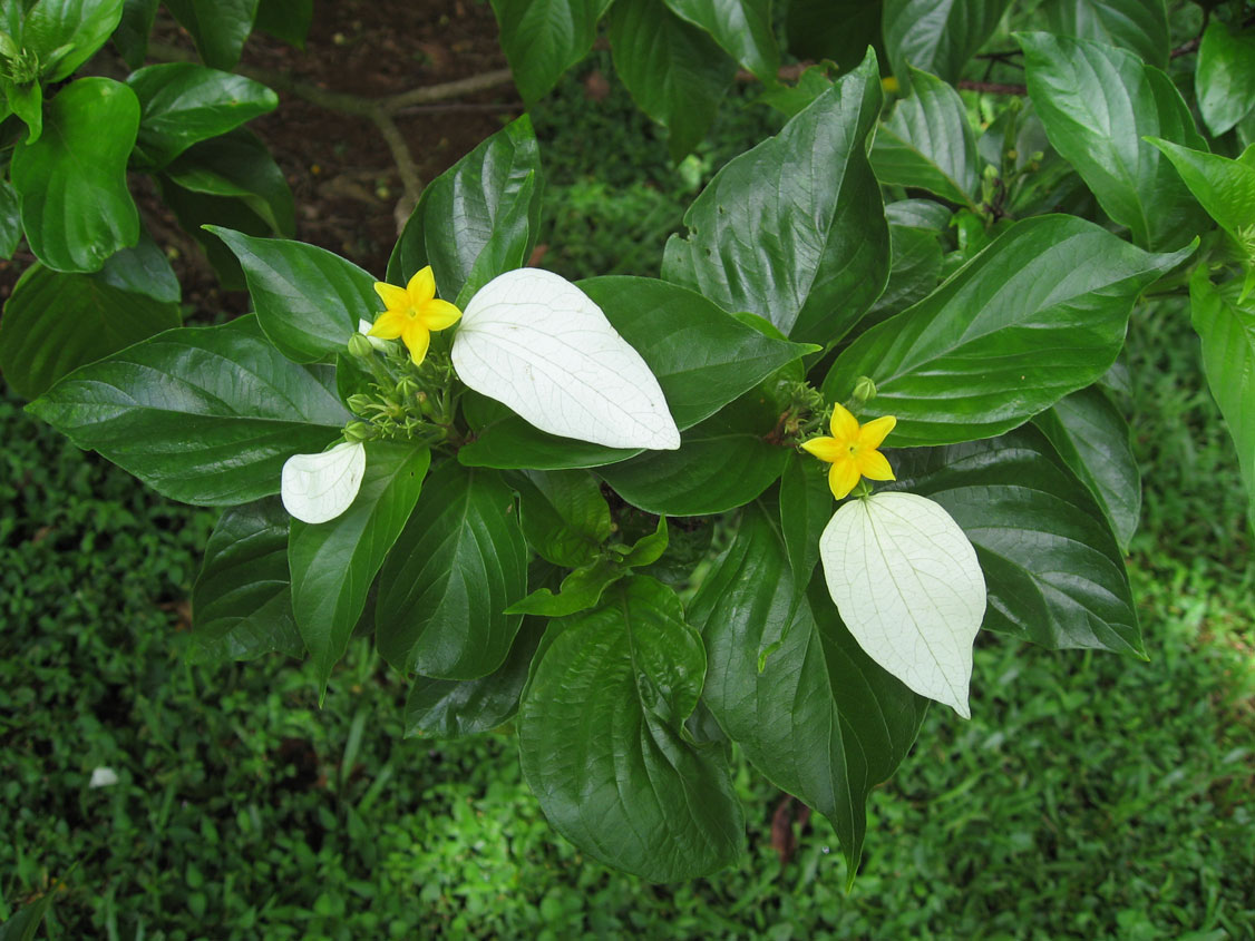 Mussaenda raiateensis   - 