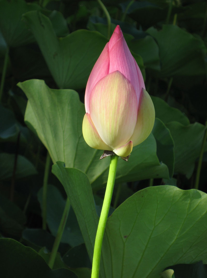 Nelumbo nucifera   - Flower in bud