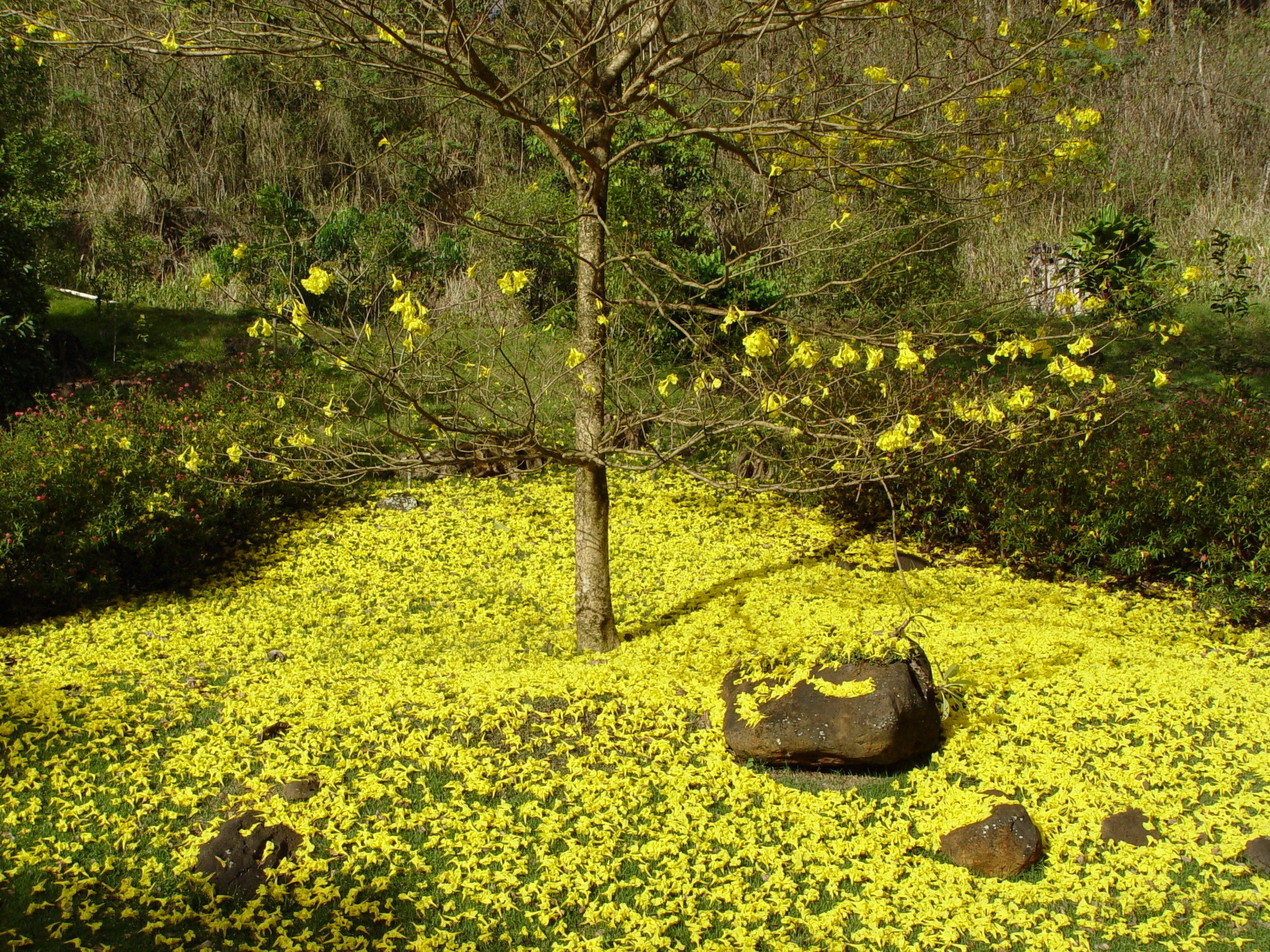 Tabebuia serratifolia   - Tree with fallen flowers carpeting ground