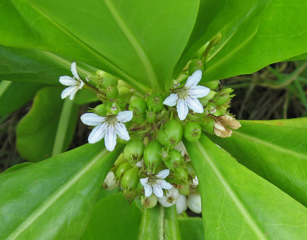 Scaevola taccada   - Branches with flowers and fruit