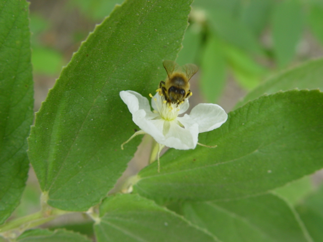 Muntingia calabura   - Flower with bee