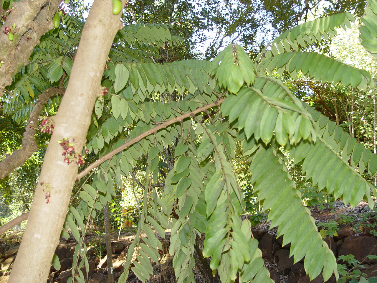 Averrhoa bilimbi   - Branches with leaves and trunk