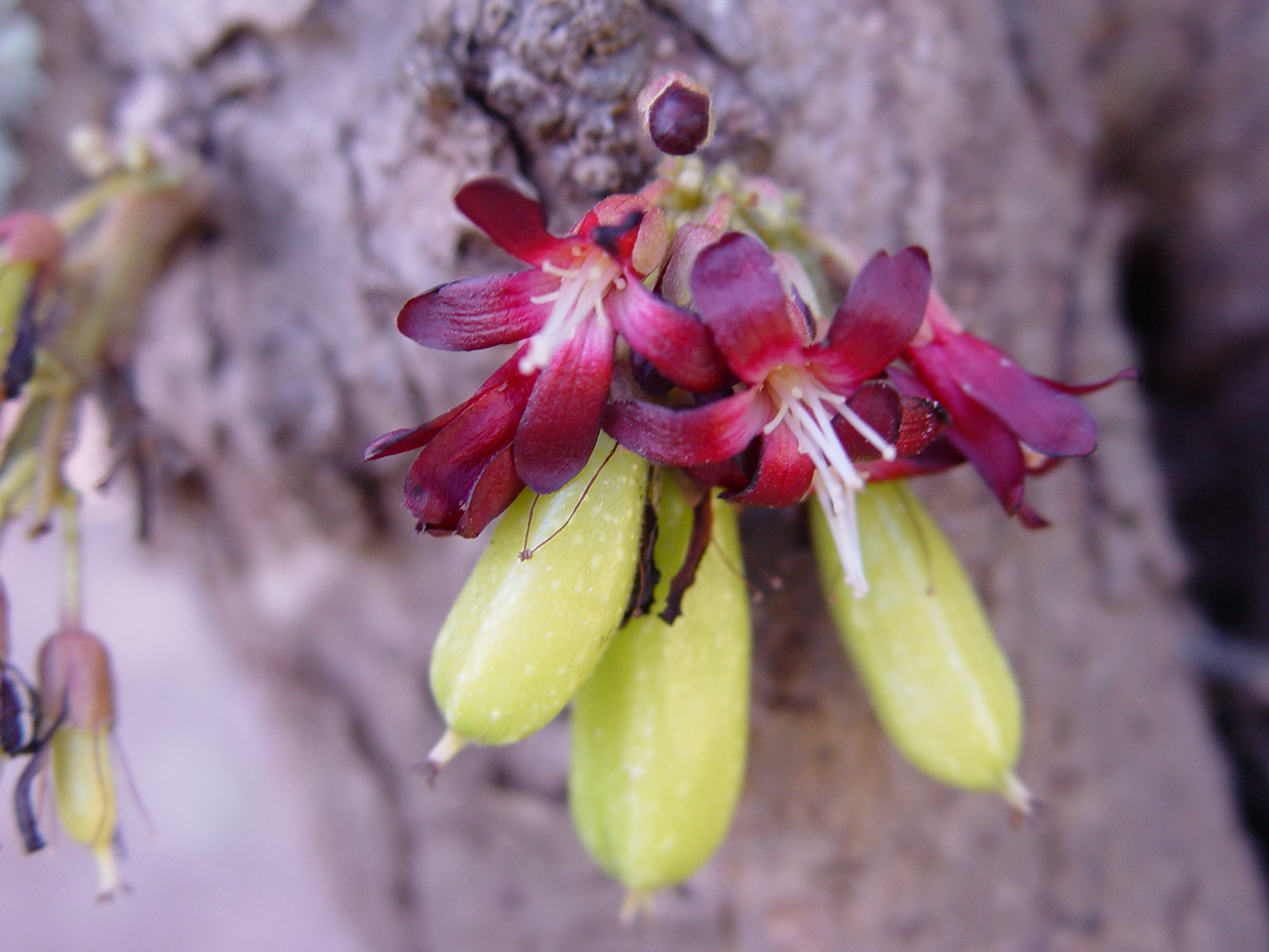 Averrhoa bilimbi   - Flowers and young fruits
