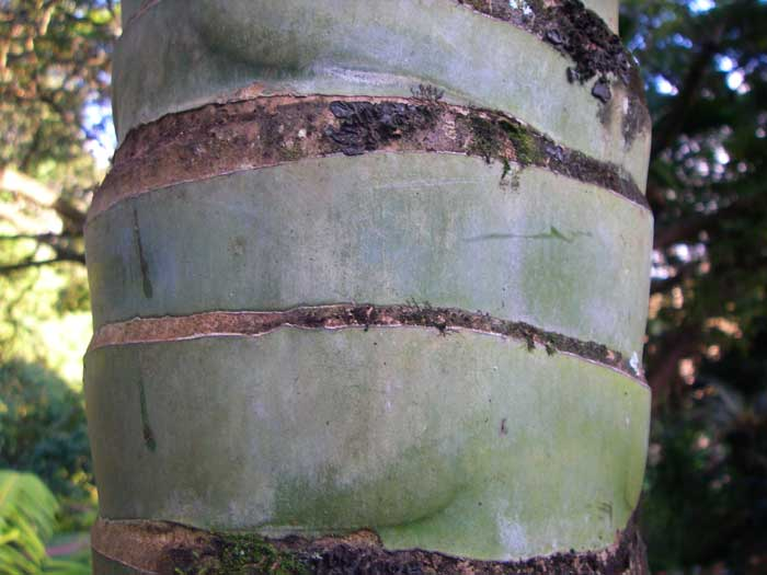 Clinostigma savoryanum   - Trunk