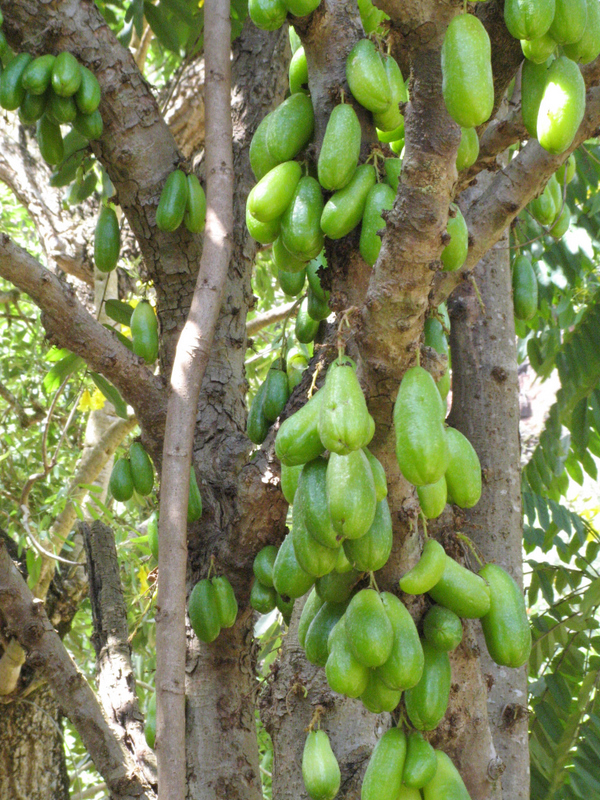 Averrhoa bilimbi   - Trunk and branches with fruit