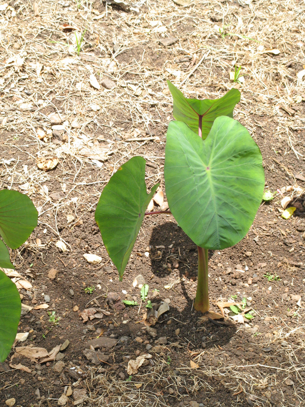Colocasia esculenta   - Habit, dry land taro