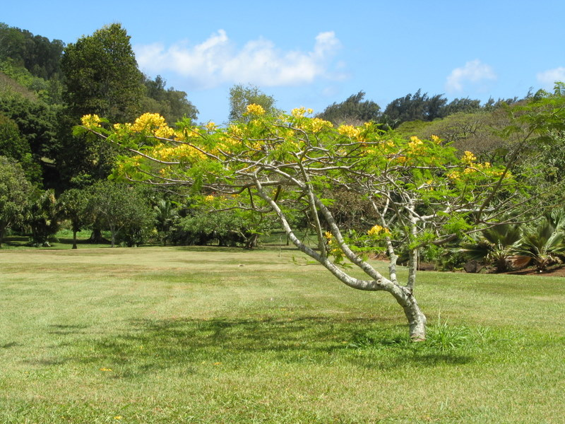 Delonix regia   - Habit, form with yellow flowers