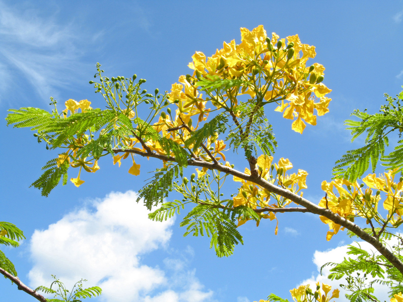 Delonix regia   - Flowering branch, yellow form