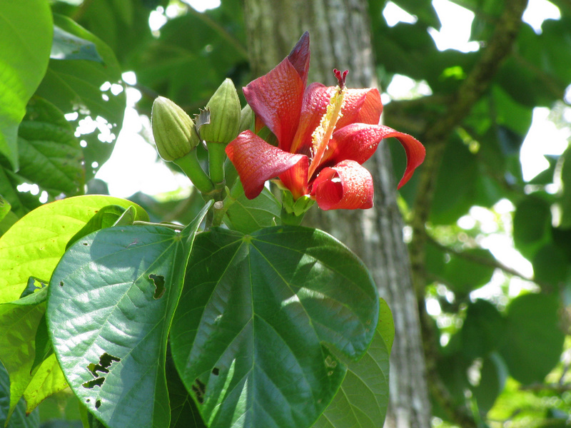 Hibiscus elatus   - Leaves with buds and flower