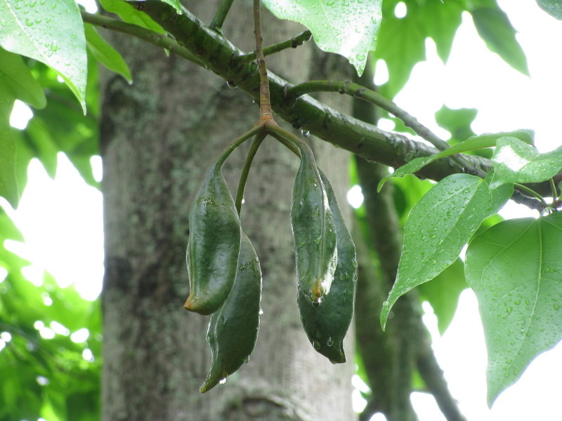 Brachychiton acerifolius   - Developing fruit, leaves and trunk