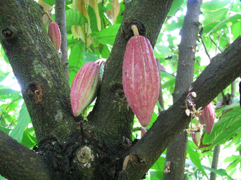 Theobroma cacao   - Immature fruits on trunk and branches