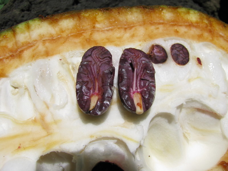 Theobroma cacao   - Split fruit revealing purple seeds