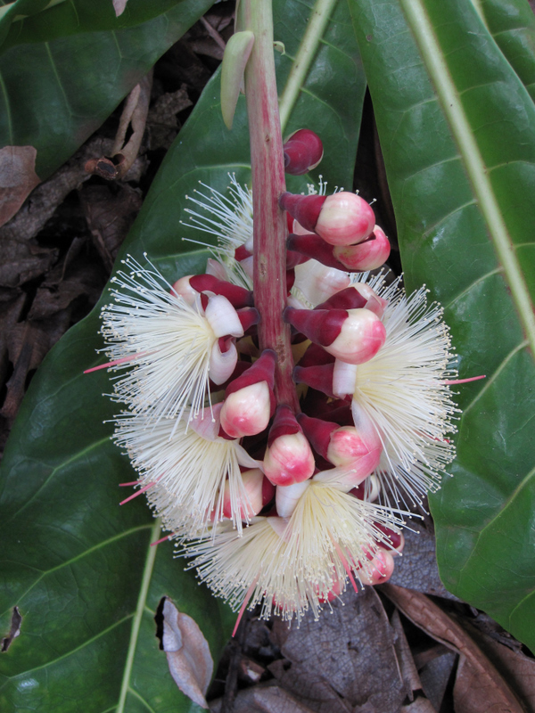Barringtonia procera   - Inflorecence with buds and open flowers