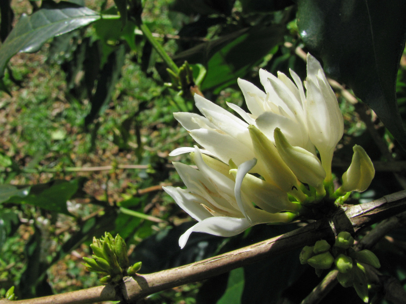 Coffea arabica   - Opening flower cluster