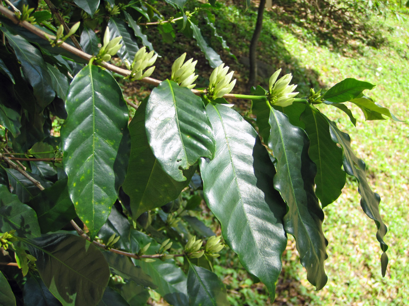 Coffea arabica   - Branch with clusters of flower buds