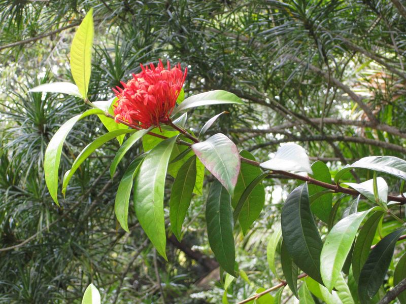 Ixora casei   - Flowering branch