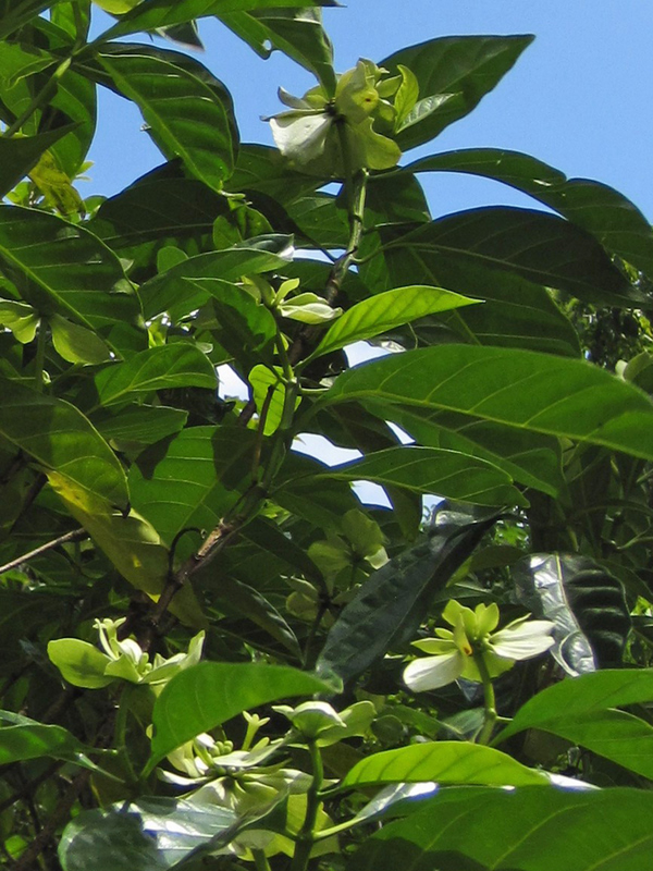 Morinda latibracteata   - Branch with leaves and flowers