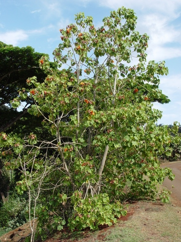 Kokia kauaiensis   - Flowering habit