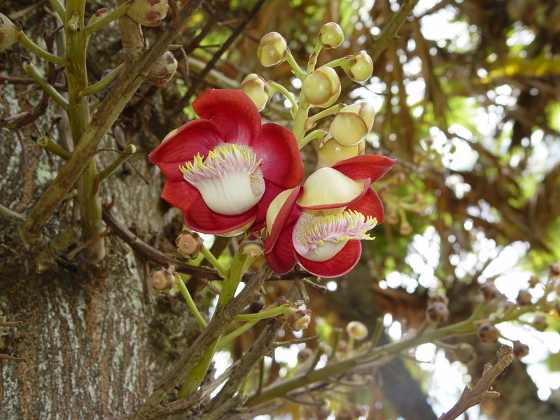Couroupita guianensis   - Flowers and buds on stem