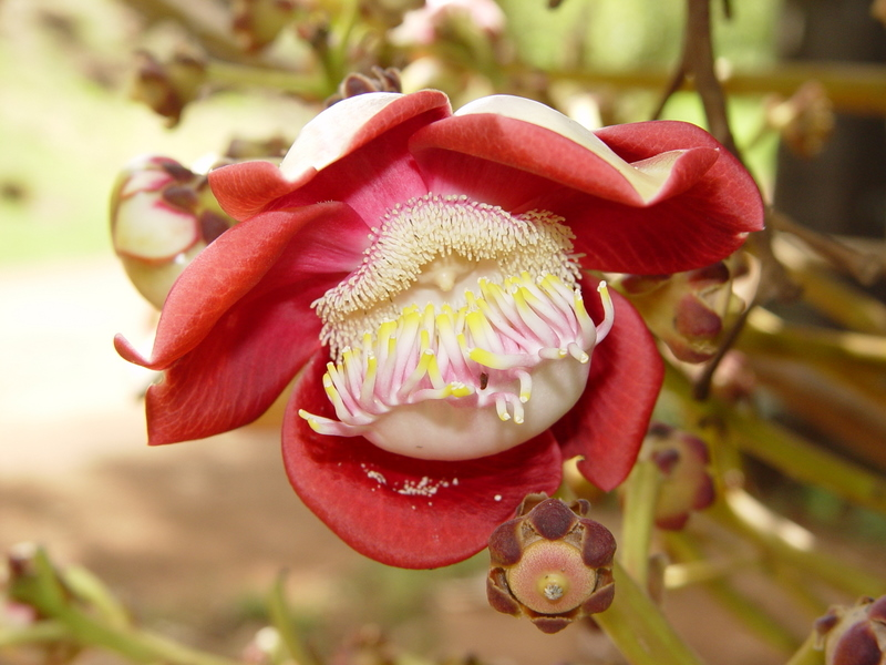 Couroupita guianensis   - Flower detail