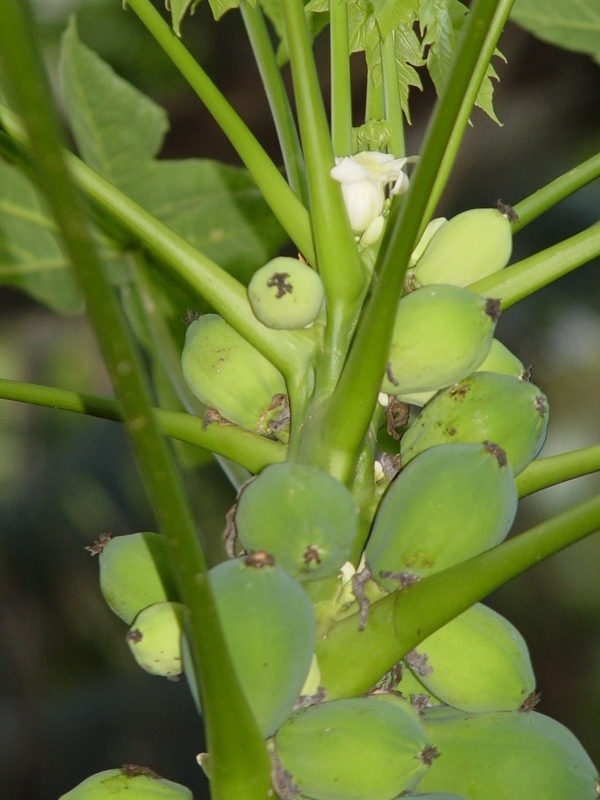 Carica papaya   - Female flowers and young fruits