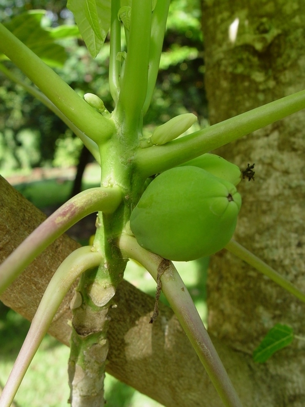 Carica papaya   - Stem with fruit and flower buds
