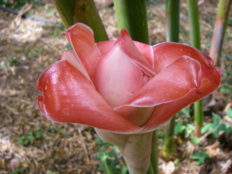 Etlingera elatior   - Inflorescence opening