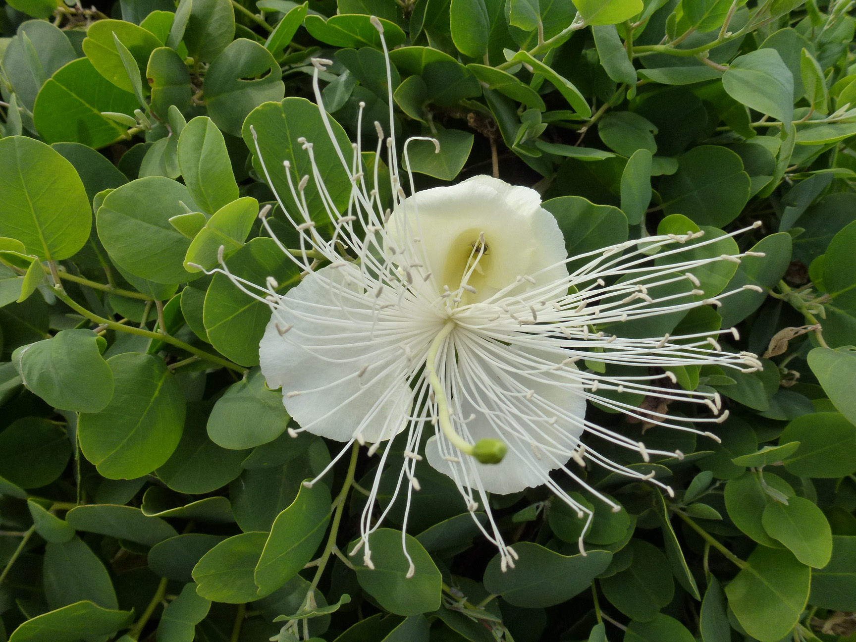 Capparis sandwichiana   - 