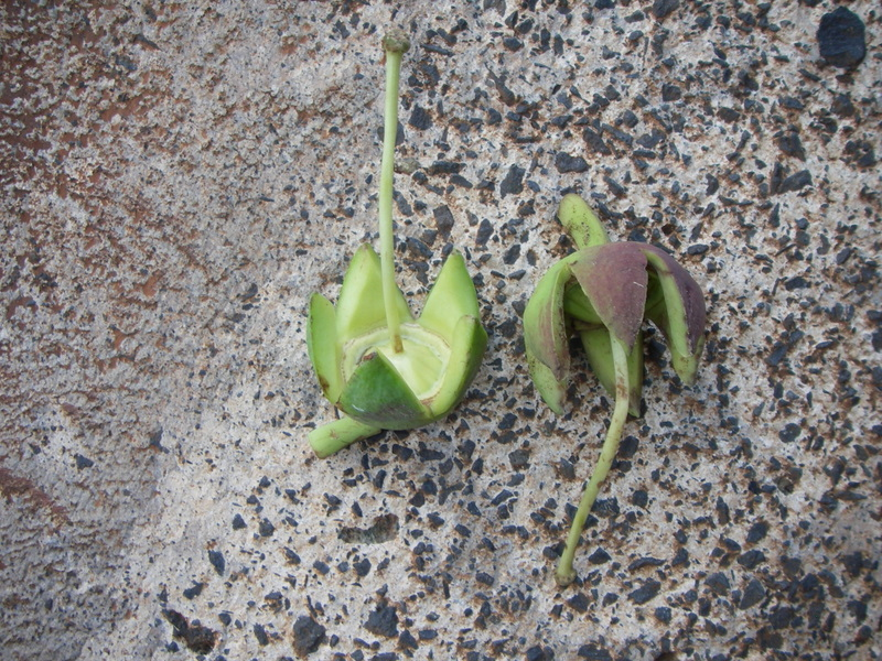 Duabanga grandiflora   - Fruit casing after flowering