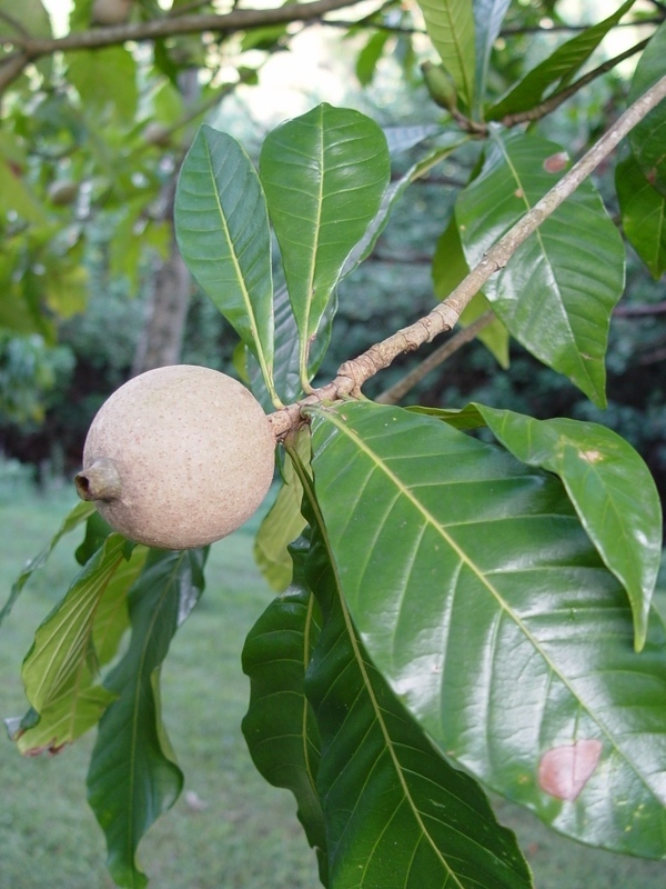 Genipa americana   - Fruit and leaf detail