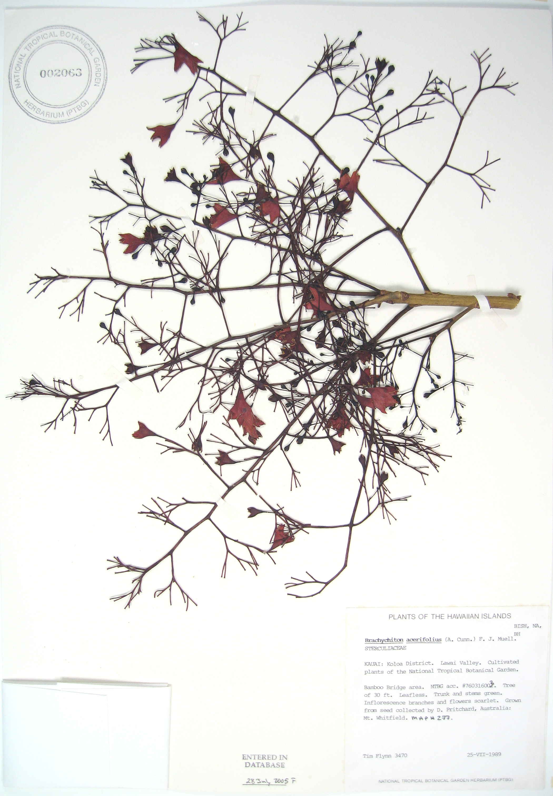 Brachychiton acerifolius   - 