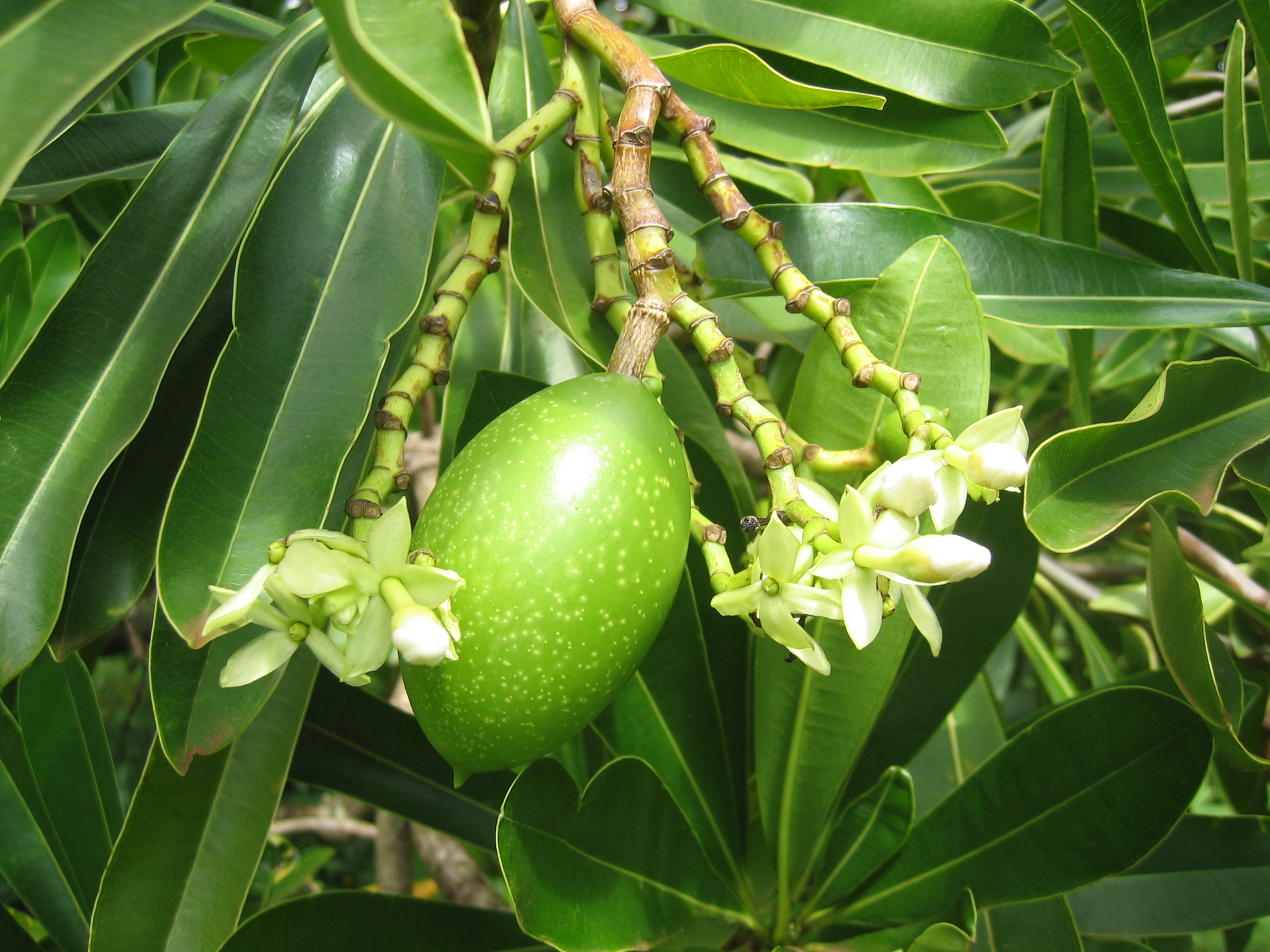 Cerbera manghas   - Flower buds and developing fruit