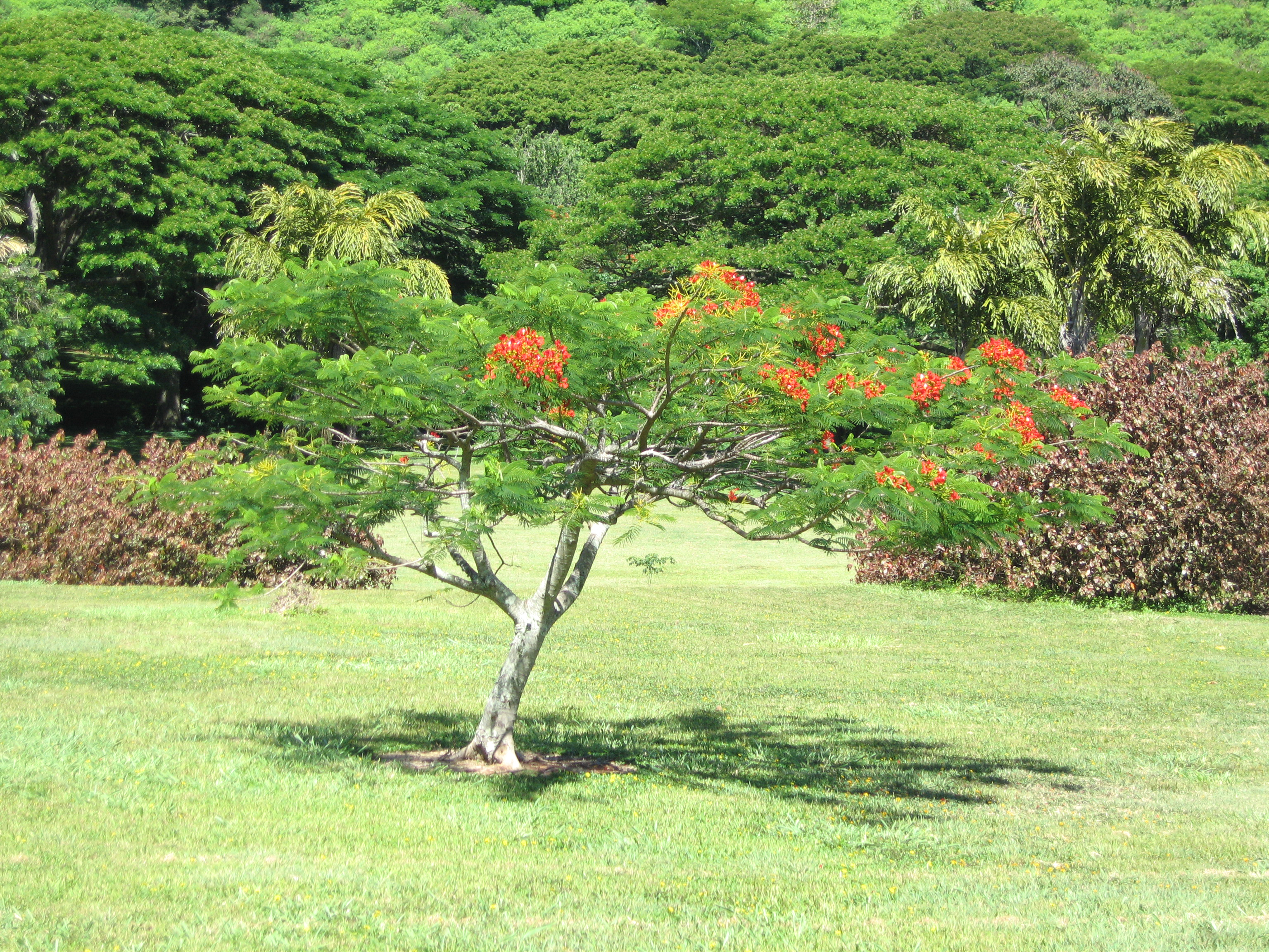 Delonix regia   - Habit, young tree