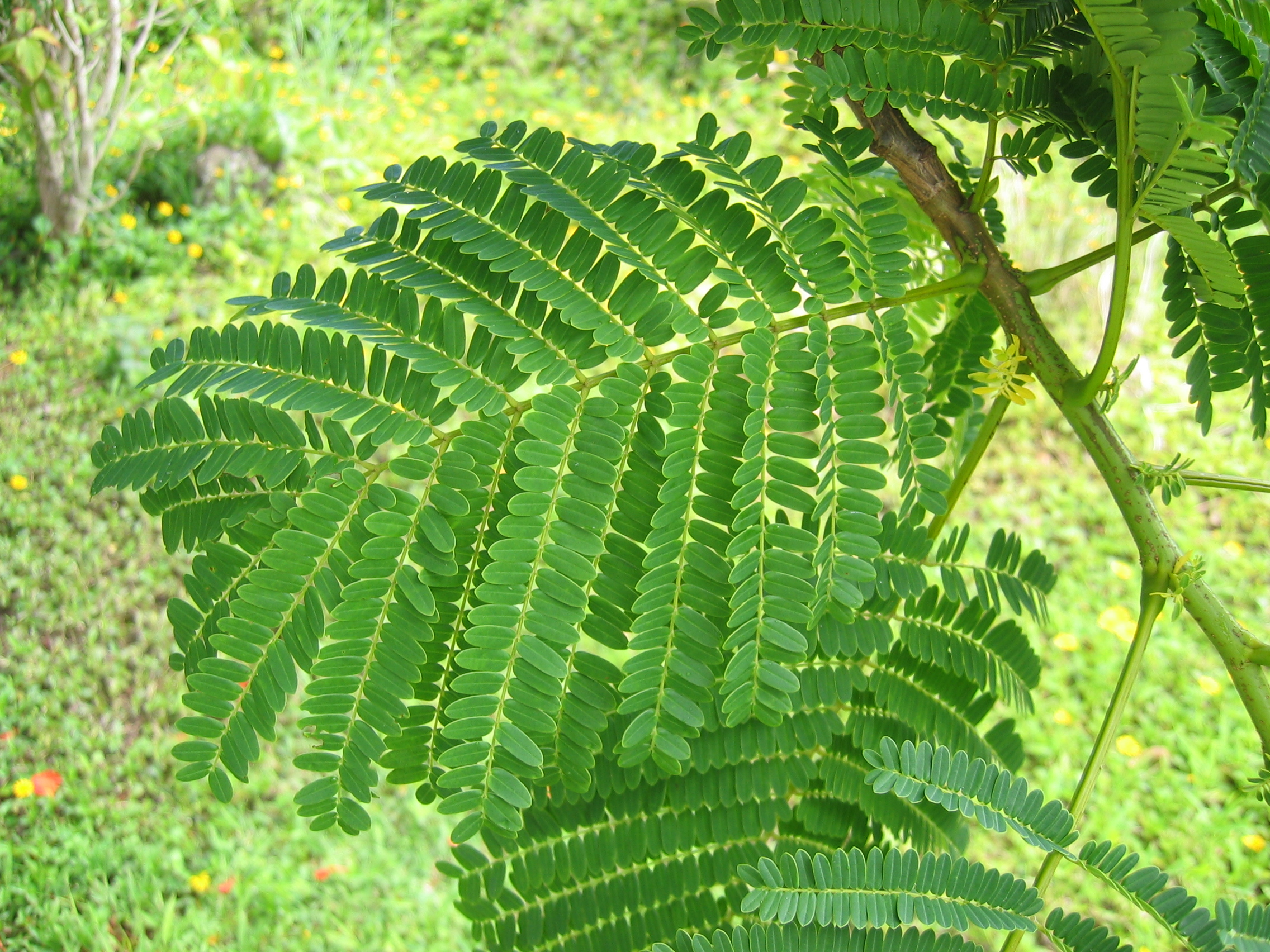 Delonix regia   - Leaves