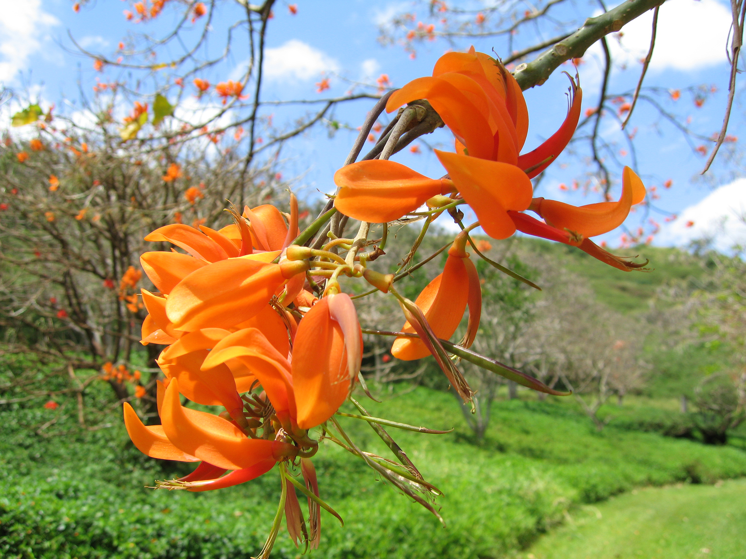 Erythrina poeppigiana   - 