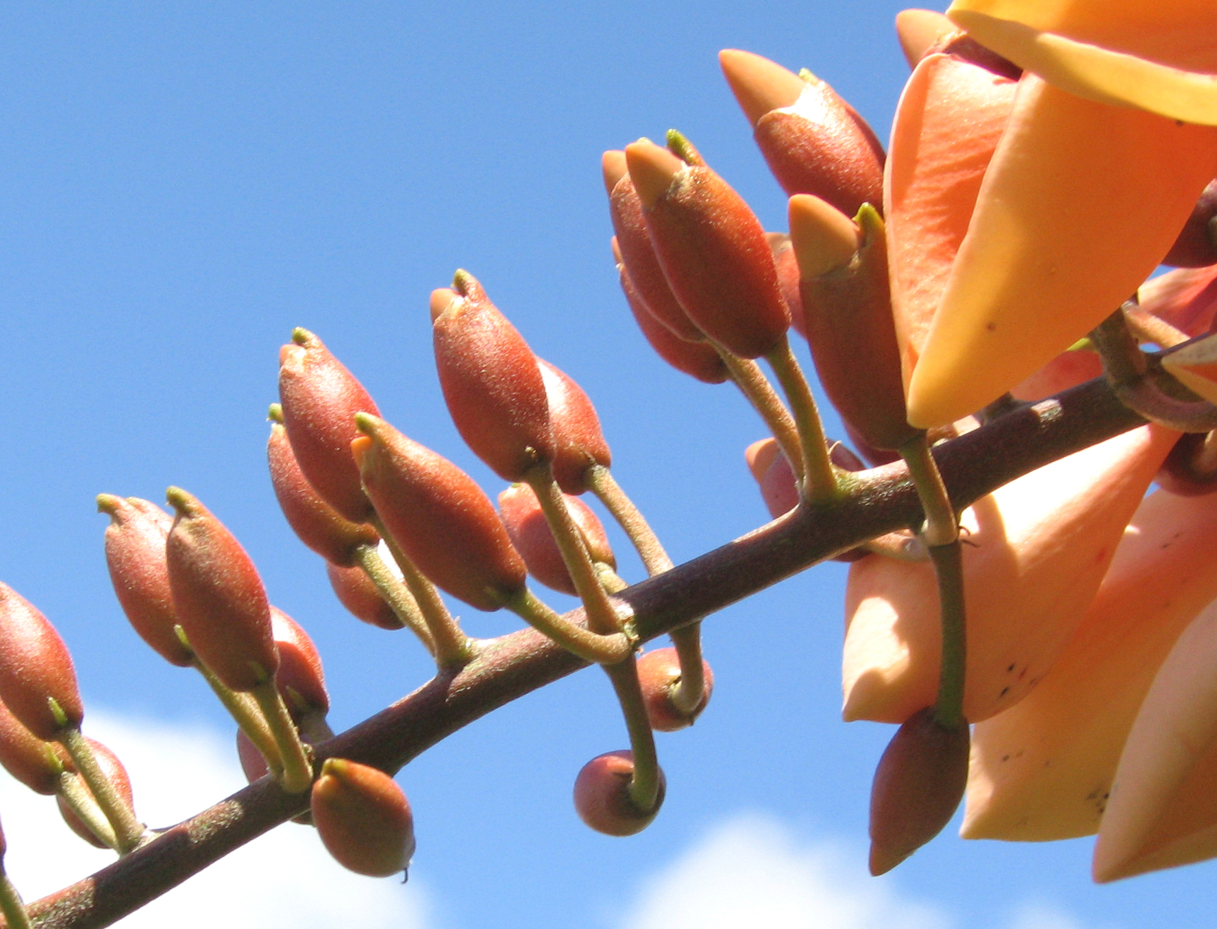 Erythrina X malottorum   - 