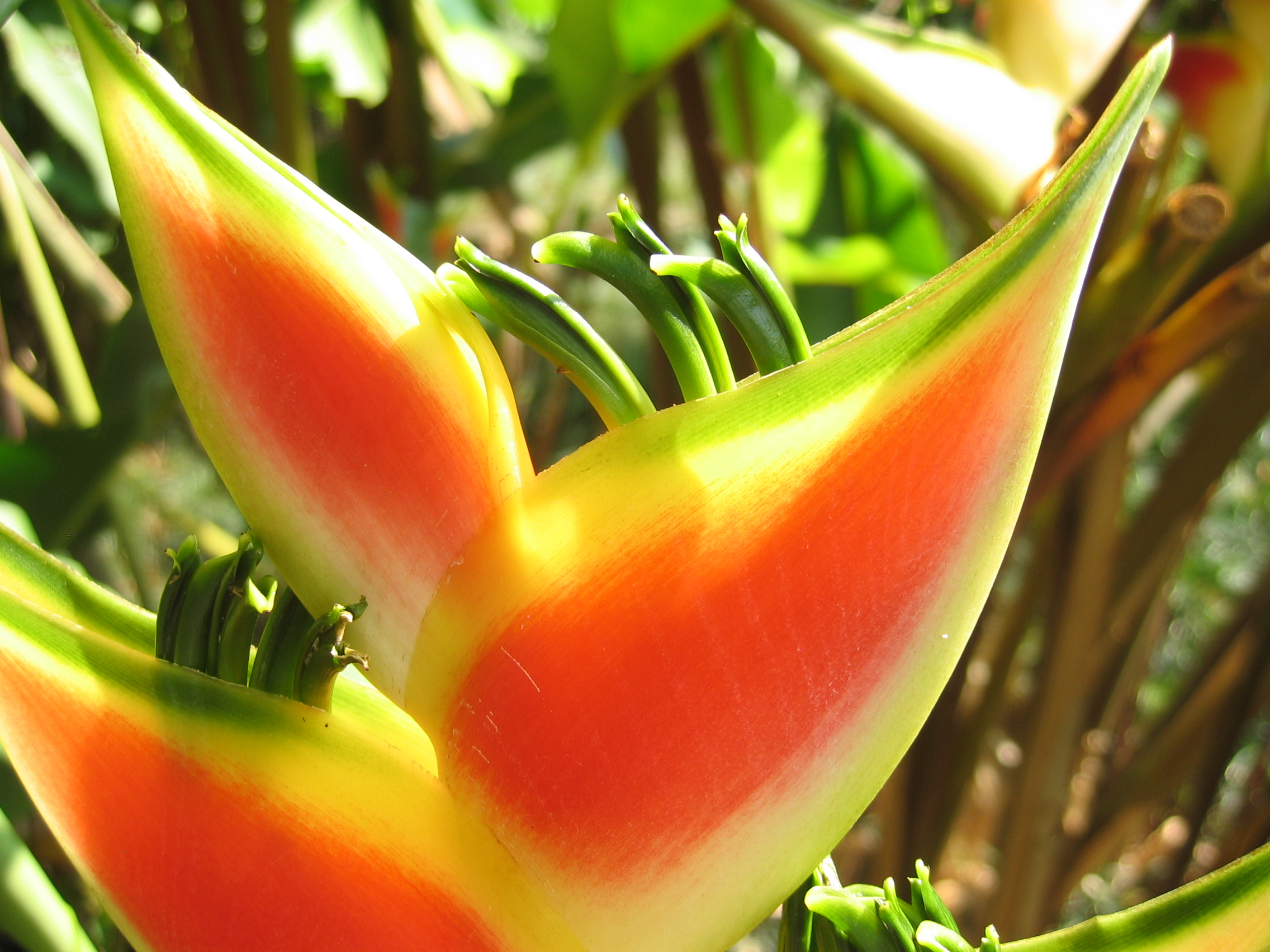 Heliconia wagneriana   - Colored bracts enclosing green flowers
