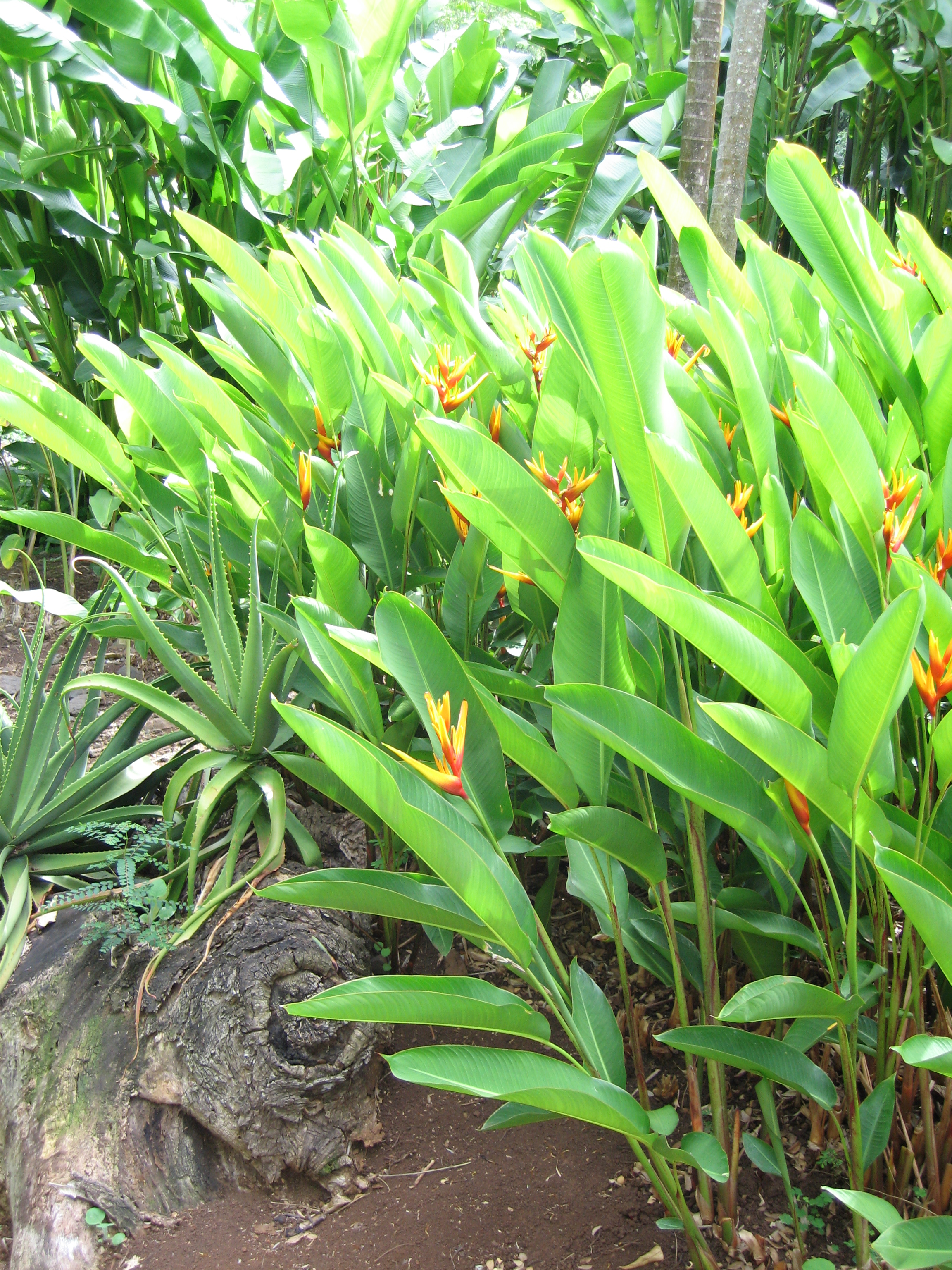Heliconia x nickeriensis   - Habit