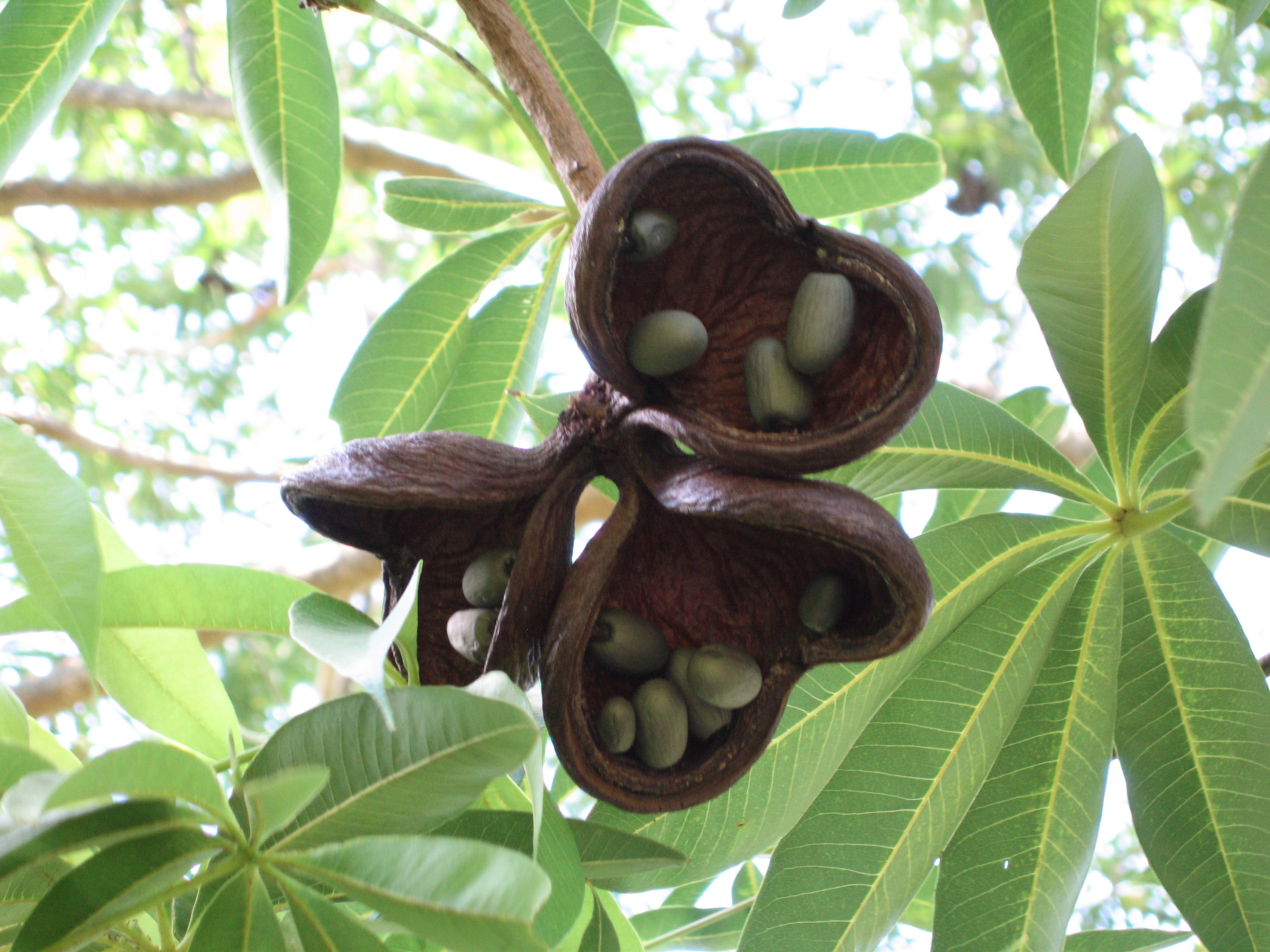 Sterculia foetida   - Ripe fruit showing seeds