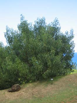 Acacia koaia   - full view