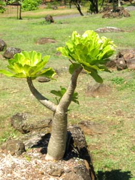 Brighamia insignis   - Habit, with atypical side branch