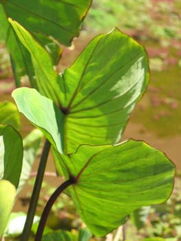Colocasia esculenta   - plant detail