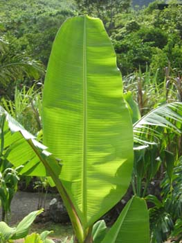 Musa x paradisiaca   - leaf detail