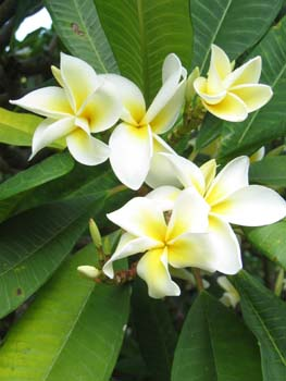 Plumeria rubra   - flower detail