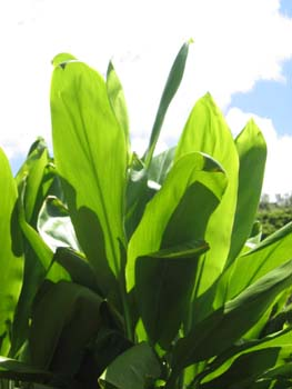 Cordyline fruiticosa   - Green leaf form