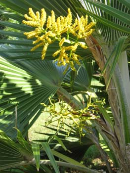 Pritchardia hillebrandii   - flower and fruit detail