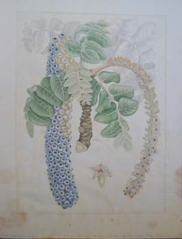 Polyscias racemosa   - Watercolor