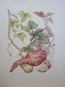 Ipomoea batatas   - Watercolor