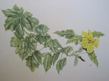 Hibiscus brackenridgei subsp. brackenridgei  - Watercolor